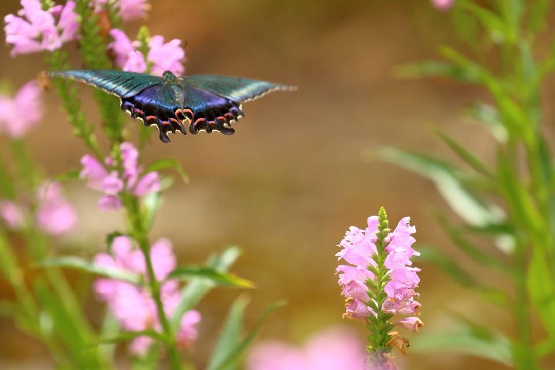 花と蝶(ハナトラノオにミヤマカラスアゲハ)その2_e0403850_19195408.jpg