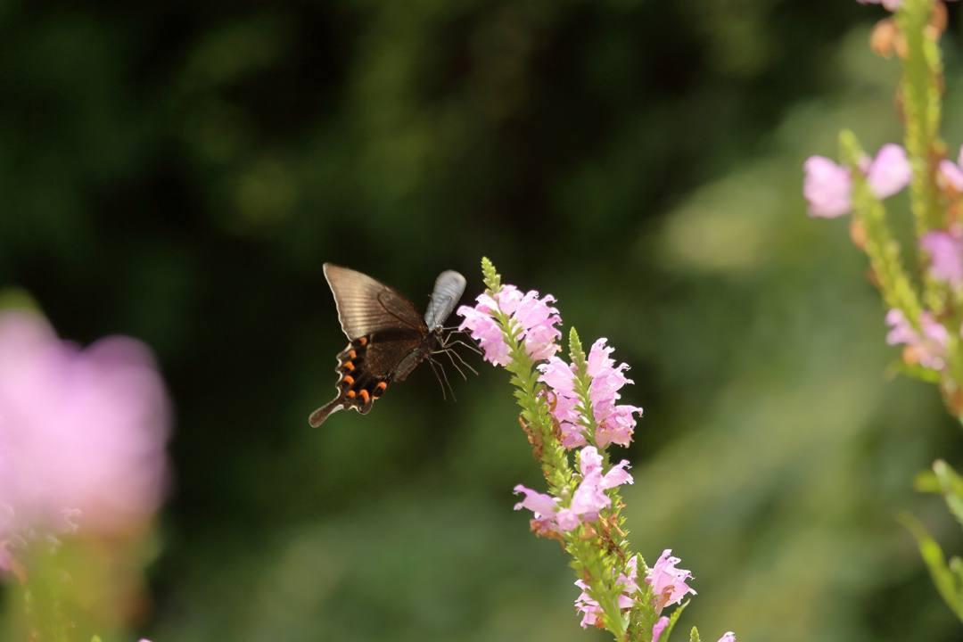 花と蝶(ハナトラノオにミヤマカラスアゲハ)その2_e0403850_19195969.jpg