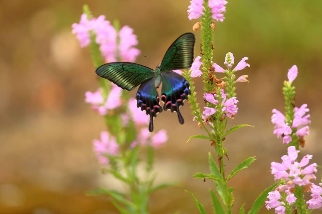 花と蝶(ハナトラノオにミヤマカラスアゲハ)その2_e0403850_19200491.jpg