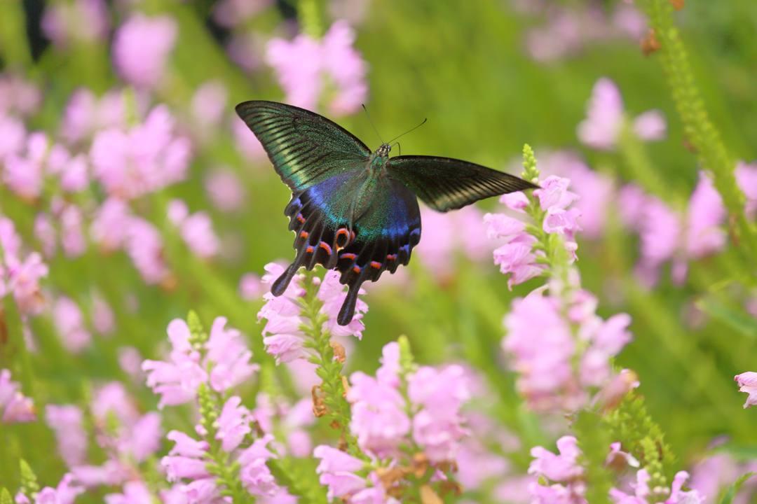 花と蝶(ハナトラノオにミヤマカラスアゲハ)その2_e0403850_19200885.jpg