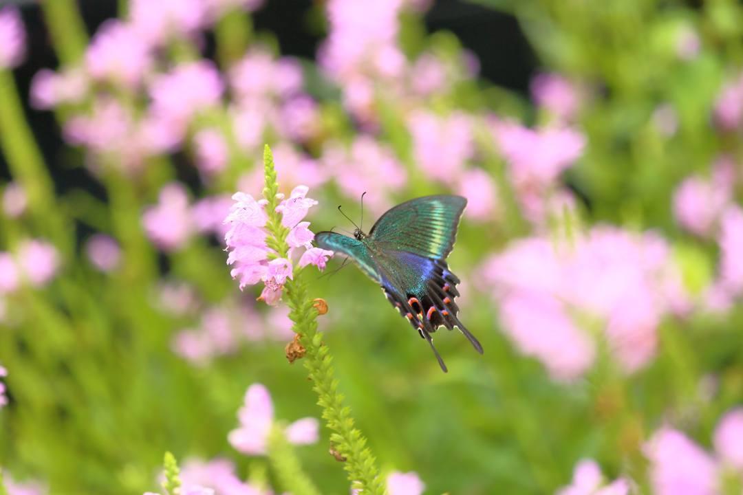 花と蝶(ハナトラノオにミヤマカラスアゲハ)その2_e0403850_19201704.jpg