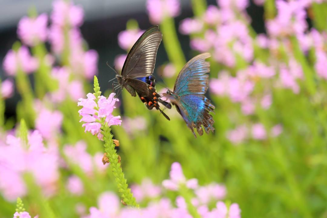 花と蝶(ハナトラノオにミヤマカラスアゲハ)その2_e0403850_19202263.jpg