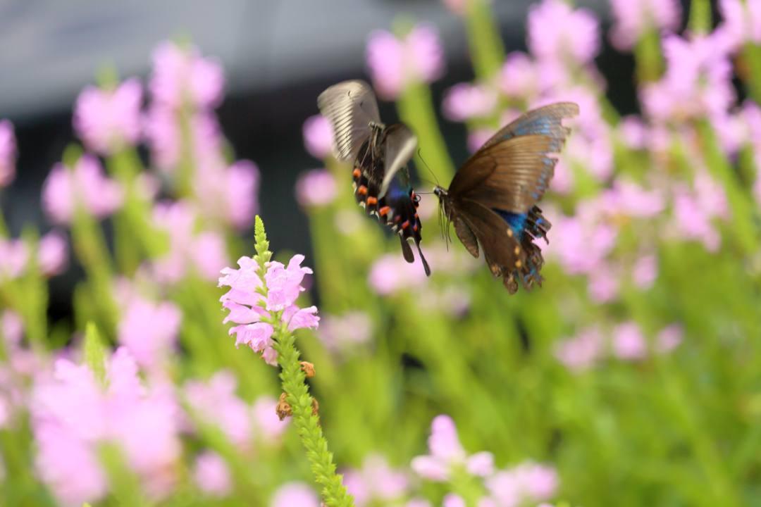 花と蝶(ハナトラノオにミヤマカラスアゲハ)その2_e0403850_19202834.jpg