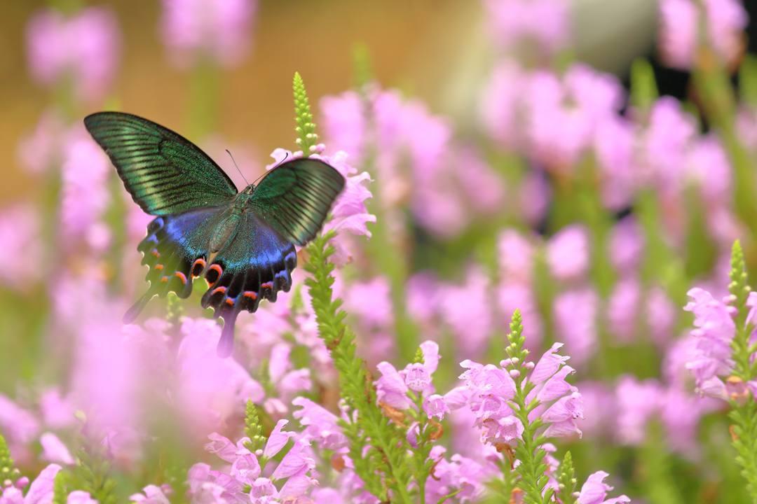 花と蝶(ハナトラノオにミヤマカラスアゲハ)その2_e0403850_19203288.jpg