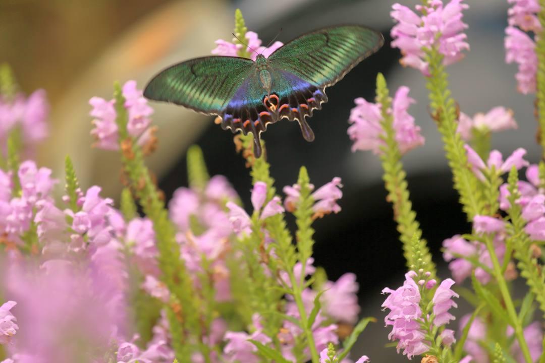 花と蝶(ハナトラノオにミヤマカラスアゲハ)その2_e0403850_19203674.jpg
