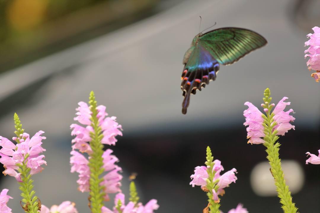 花と蝶(ハナトラノオにミヤマカラスアゲハ)その2_e0403850_19204171.jpg