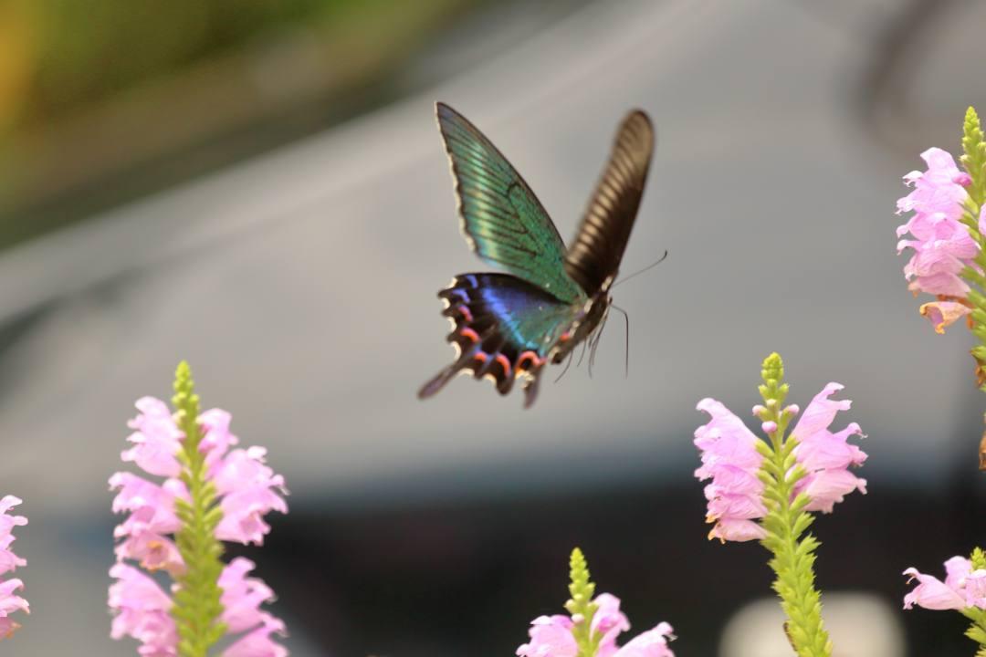 花と蝶(ハナトラノオにミヤマカラスアゲハ)その2_e0403850_19204527.jpg
