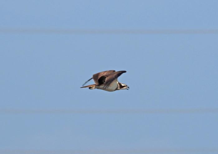 美しき湿原にミサゴがやって来た Ⅱ_d0290240_17152830.jpg