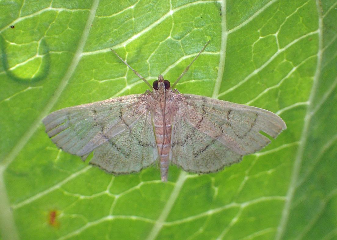 夏の蛾から2020 その2_d0146854_21360538.jpg