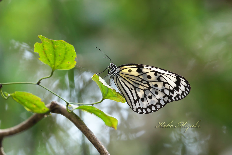オオゴマダラ(Rice Paper butterfly )★★★☆☆_d0013455_19232640.jpg