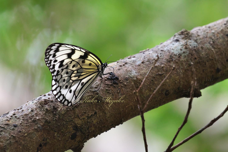 オオゴマダラ(Rice Paper butterfly )★★★☆☆_d0013455_19234050.jpg