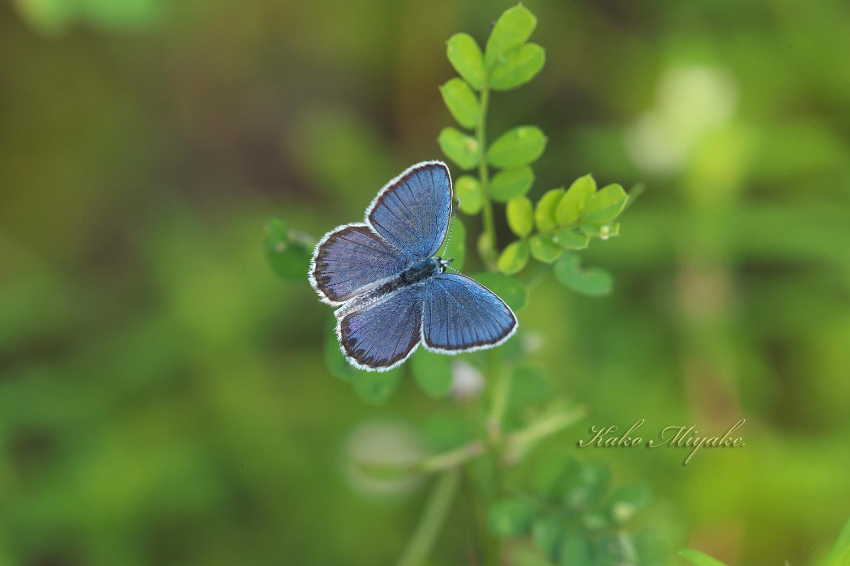 ミヤマシジミ(The Reverdin\'s Blue )★★★★☆ 絶滅危惧ⅠB_d0013455_20125569.jpg