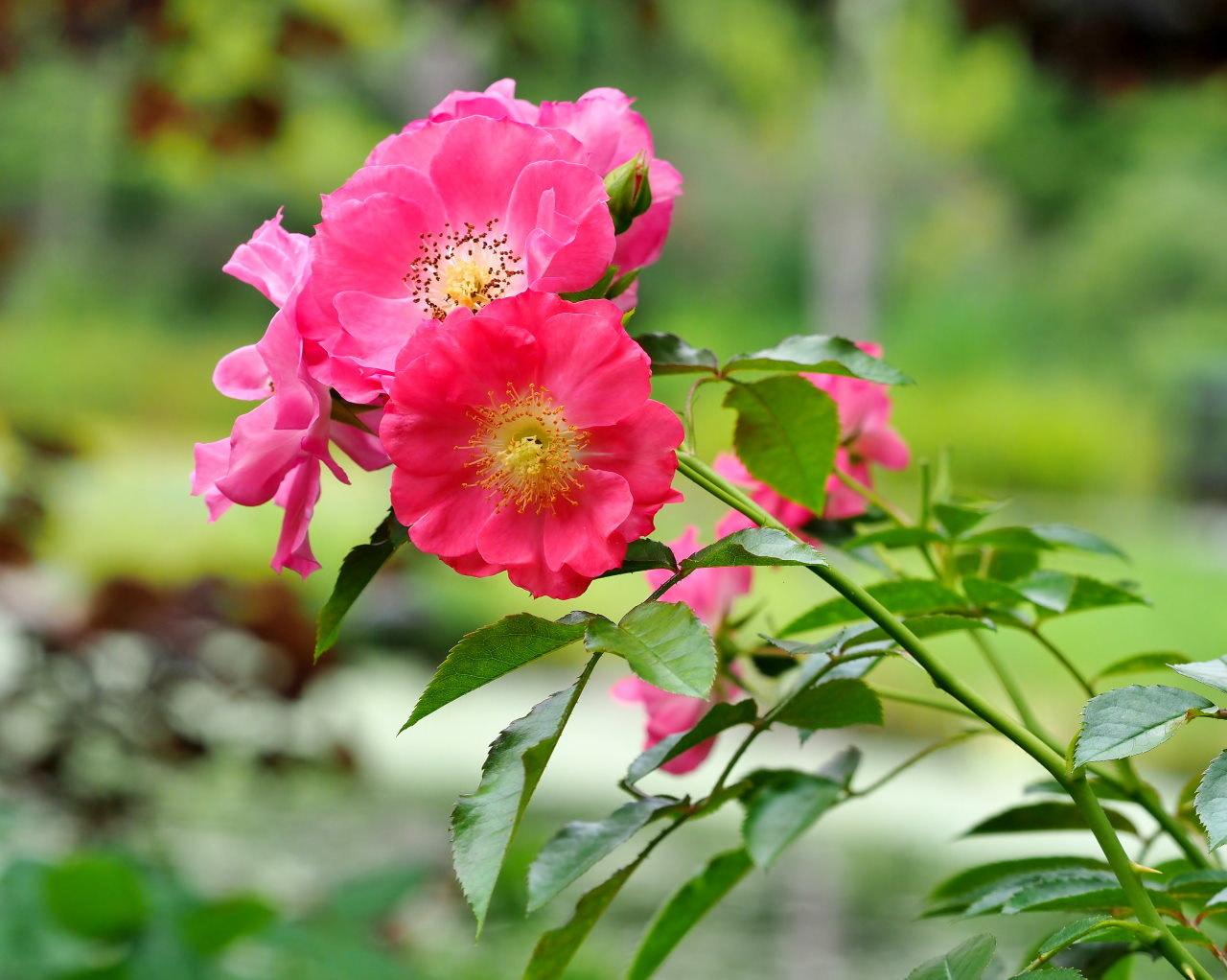 軽井沢レイクガーデンから この時期の花たち_c0305565_17415256.jpg