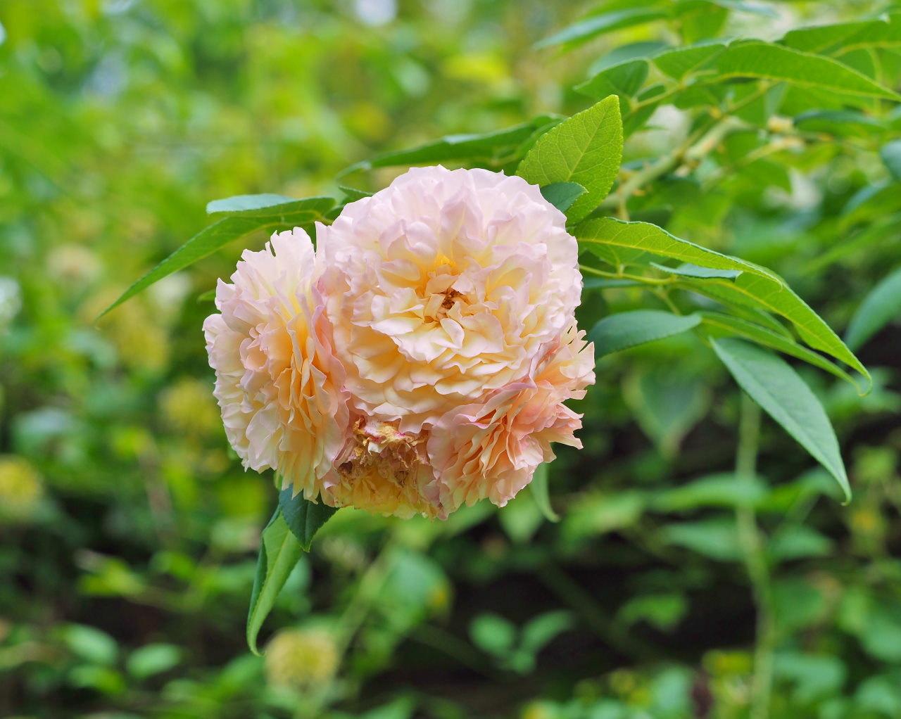 軽井沢レイクガーデンから この時期の花たち_c0305565_17432502.jpg