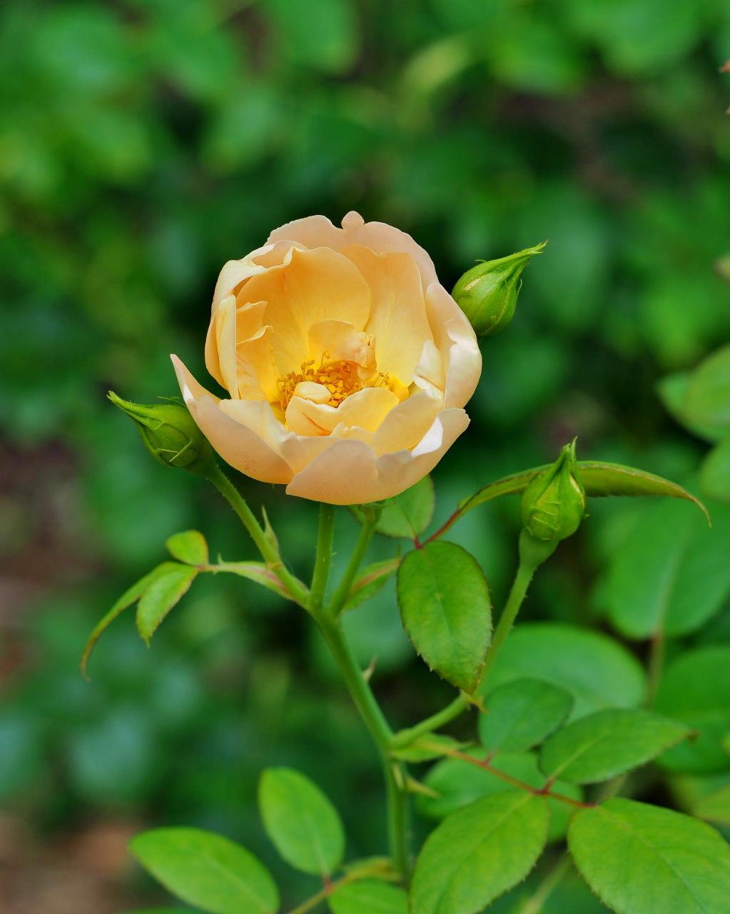 軽井沢レイクガーデンから この時期の花たち_c0305565_17445847.jpg