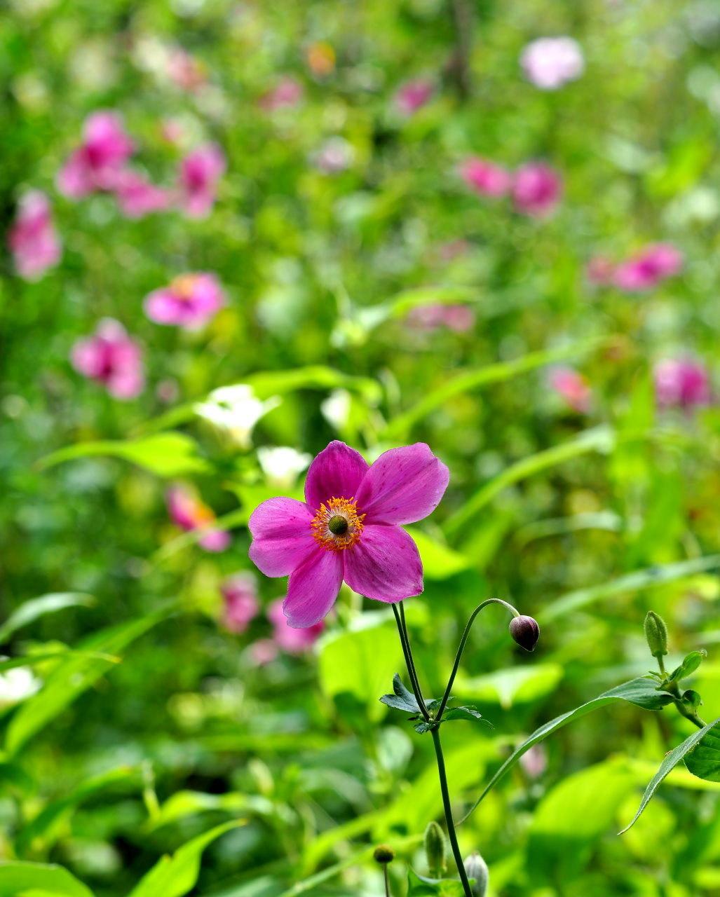 軽井沢レイクガーデンから この時期の花たち_c0305565_17472857.jpg