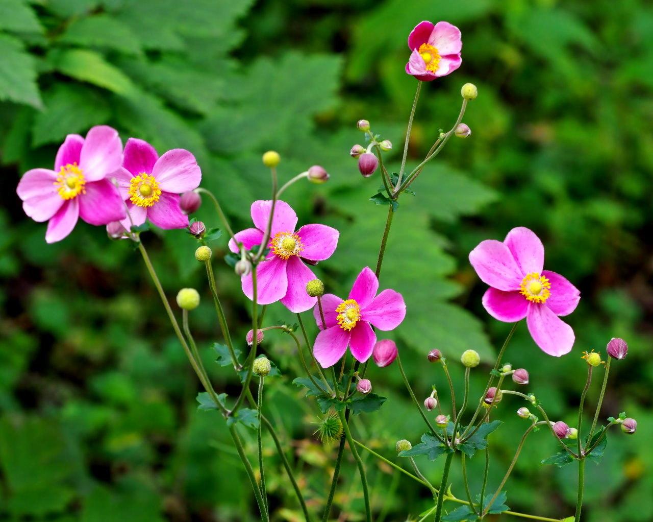 軽井沢レイクガーデンから この時期の花たち_c0305565_17484514.jpg