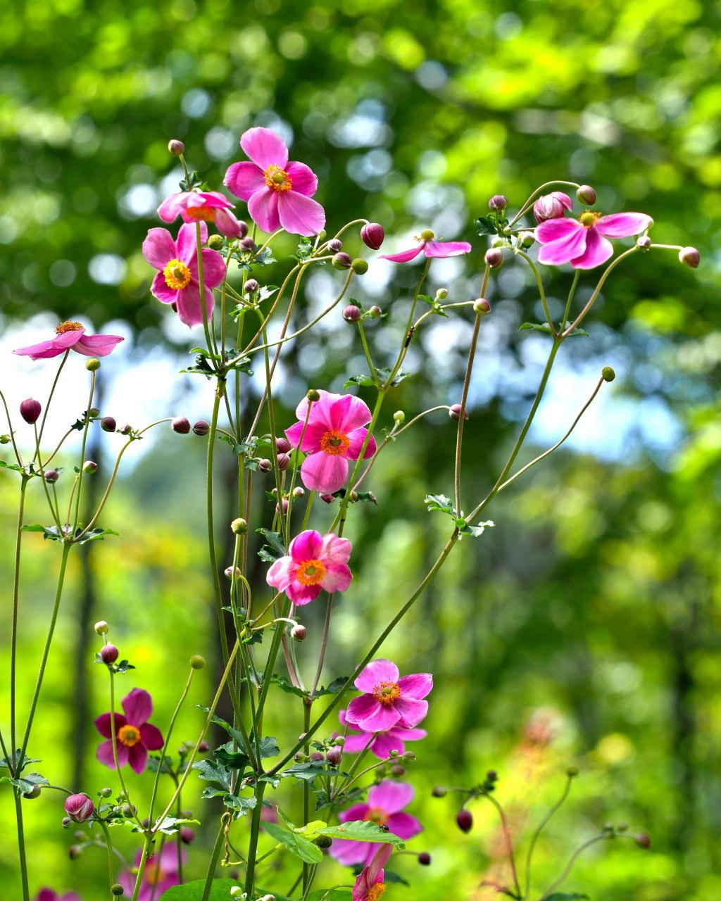 軽井沢レイクガーデンから この時期の花たち_c0305565_17493719.jpg