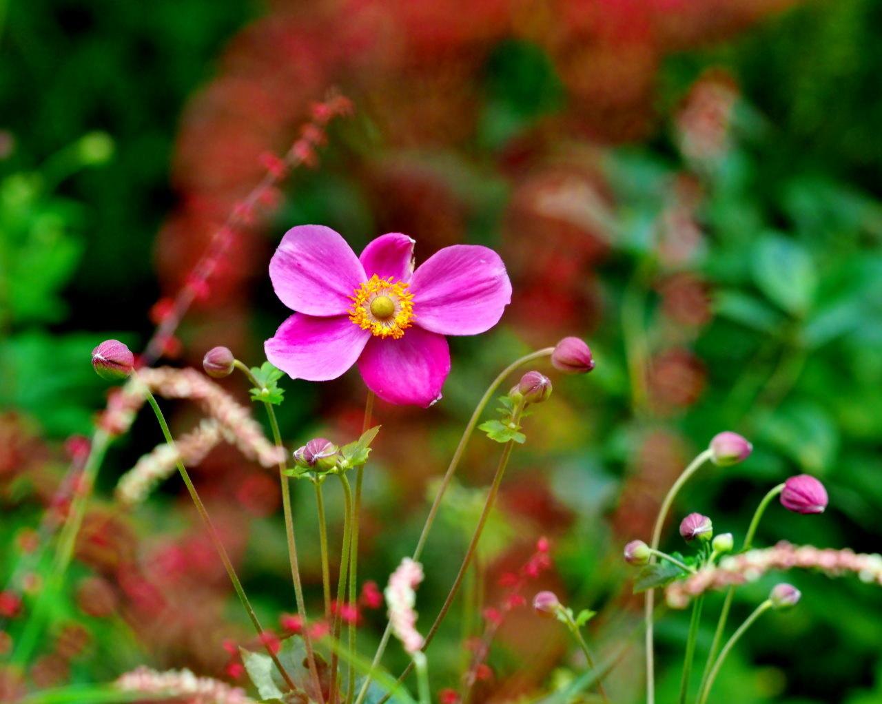 軽井沢レイクガーデンから この時期の花たち_c0305565_17524475.jpg