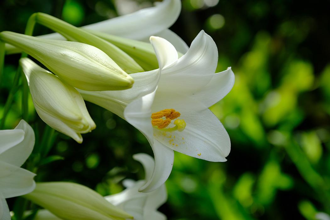 「我家の庭ユリ」_c0014538_10574685.jpg
