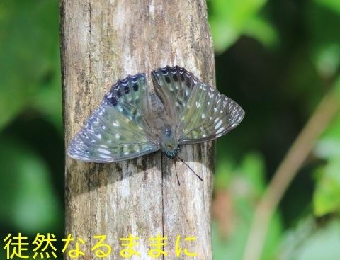 9/12にスミナガシ・アオバセセリ・ヤマキマダラヒカゲ_d0285540_20252772.jpg