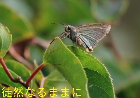 9/12にスミナガシ・アオバセセリ・ヤマキマダラヒカゲ_d0285540_20290470.jpg