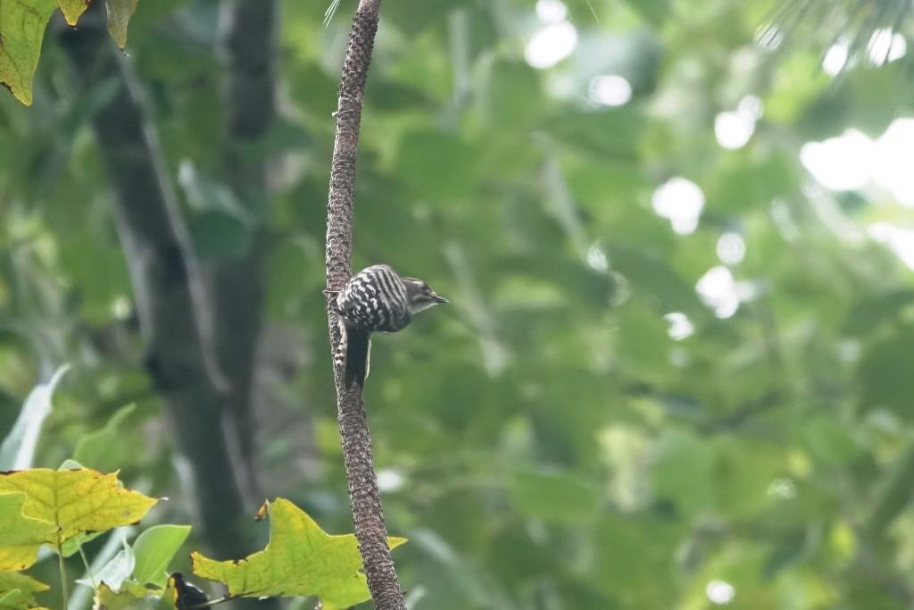 野鳥トレ221 森林植物園野鳥探鳥会_b0227552_19390855.jpg