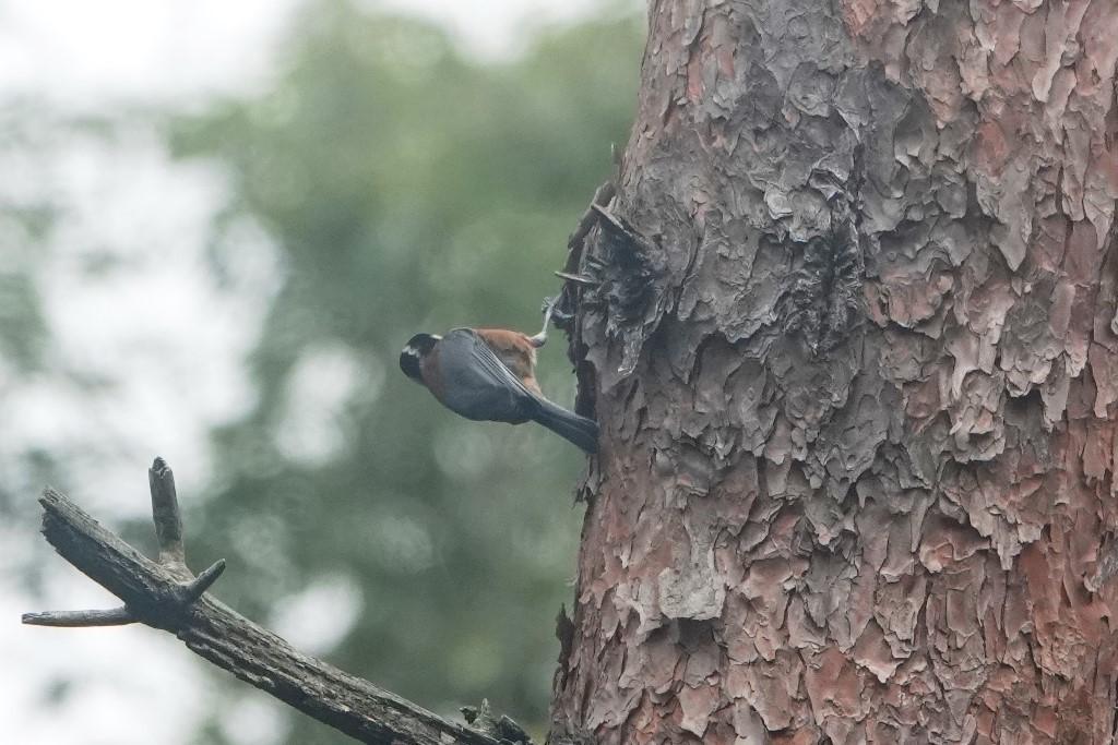 野鳥トレ221 森林植物園野鳥探鳥会_b0227552_19390878.jpg