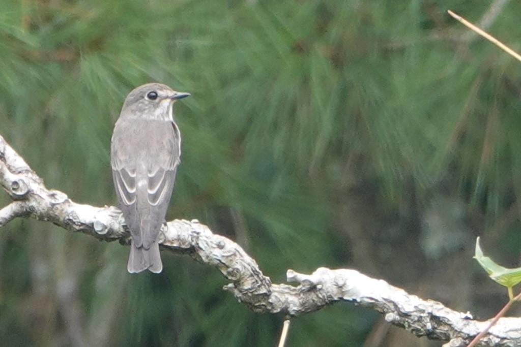 野鳥トレ221 森林植物園野鳥探鳥会_b0227552_19390931.jpg