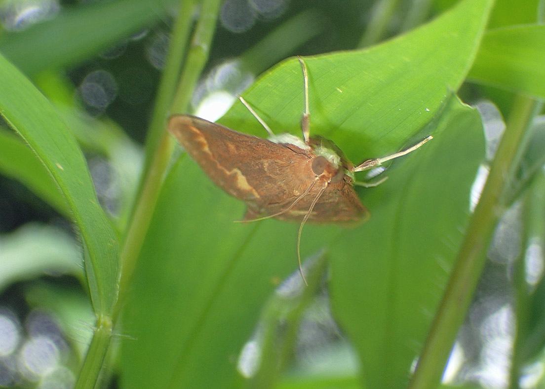 夏の蛾から2020 その2_d0146854_21474717.jpg