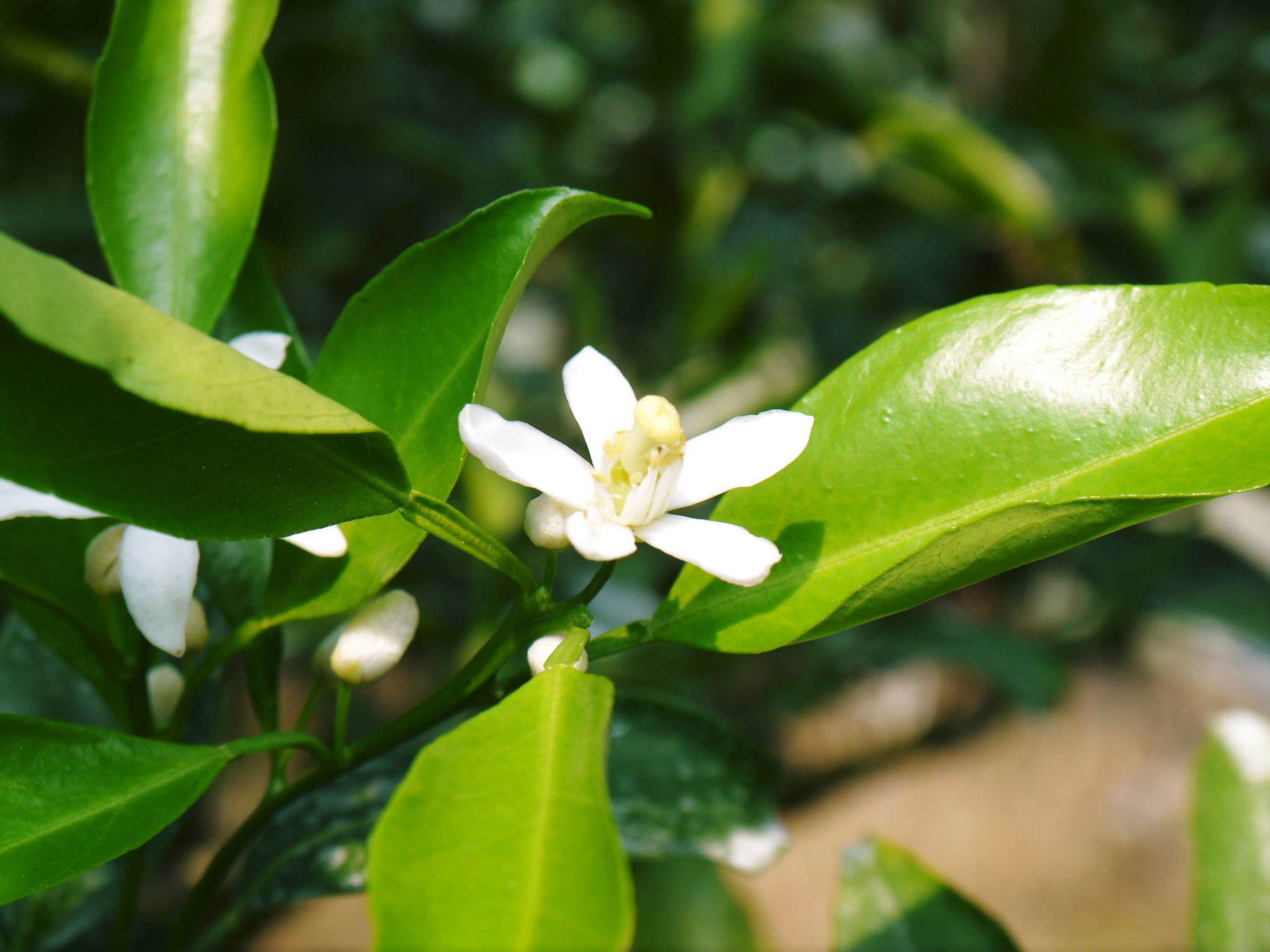 究極の柑橘「せとか」 摘果作業と玉吊り作業 樹勢も良く来年活躍する新芽も元気に芽吹いてます!_a0254656_17585700.jpg