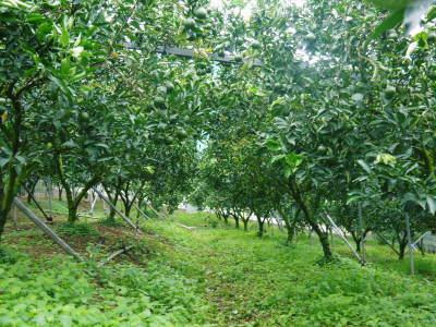 究極の柑橘「せとか」 摘果作業と玉吊り作業 樹勢も良く来年活躍する新芽も元気に芽吹いてます!_a0254656_17593527.jpg