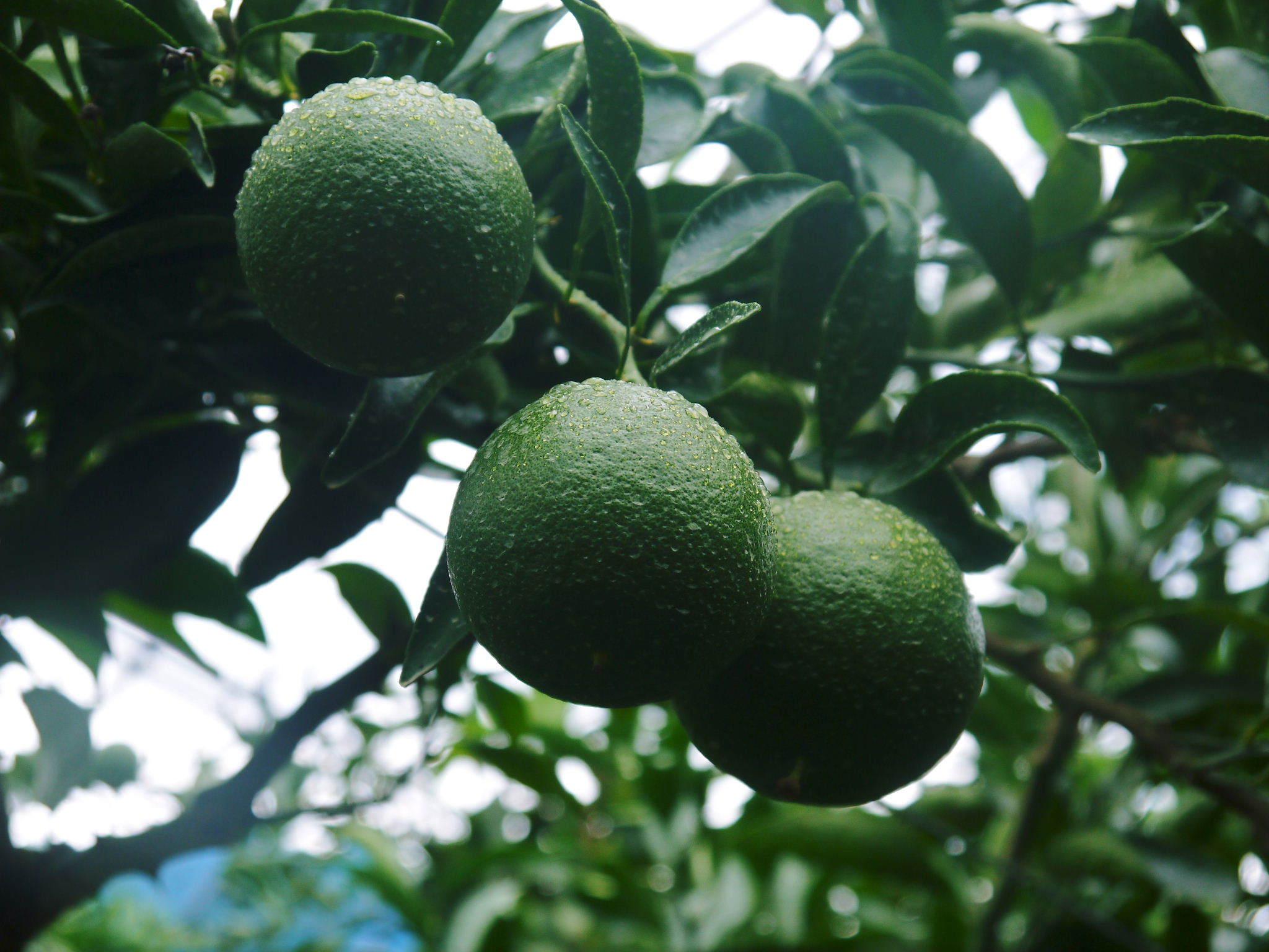 究極の柑橘「せとか」 摘果作業と玉吊り作業 樹勢も良く来年活躍する新芽も元気に芽吹いてます!_a0254656_18011247.jpg