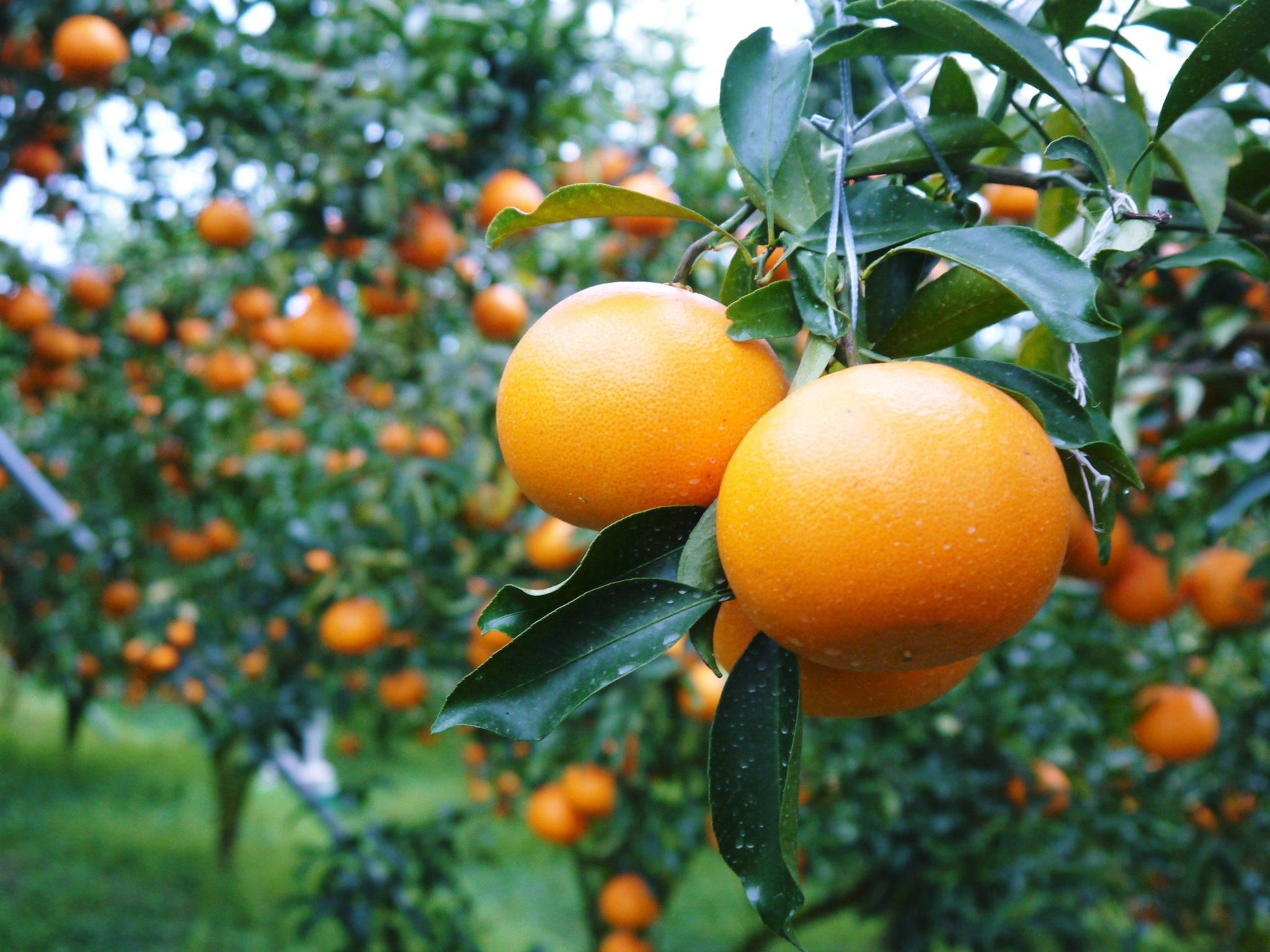 究極の柑橘「せとか」 摘果作業と玉吊り作業 樹勢も良く来年活躍する新芽も元気に芽吹いてます!_a0254656_18024867.jpg