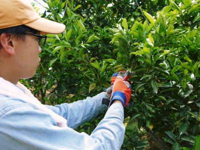 究極の柑橘「せとか」 摘果作業と玉吊り作業 樹勢も良く来年活躍する新芽も元気に芽吹いてます!_a0254656_18034747.jpg