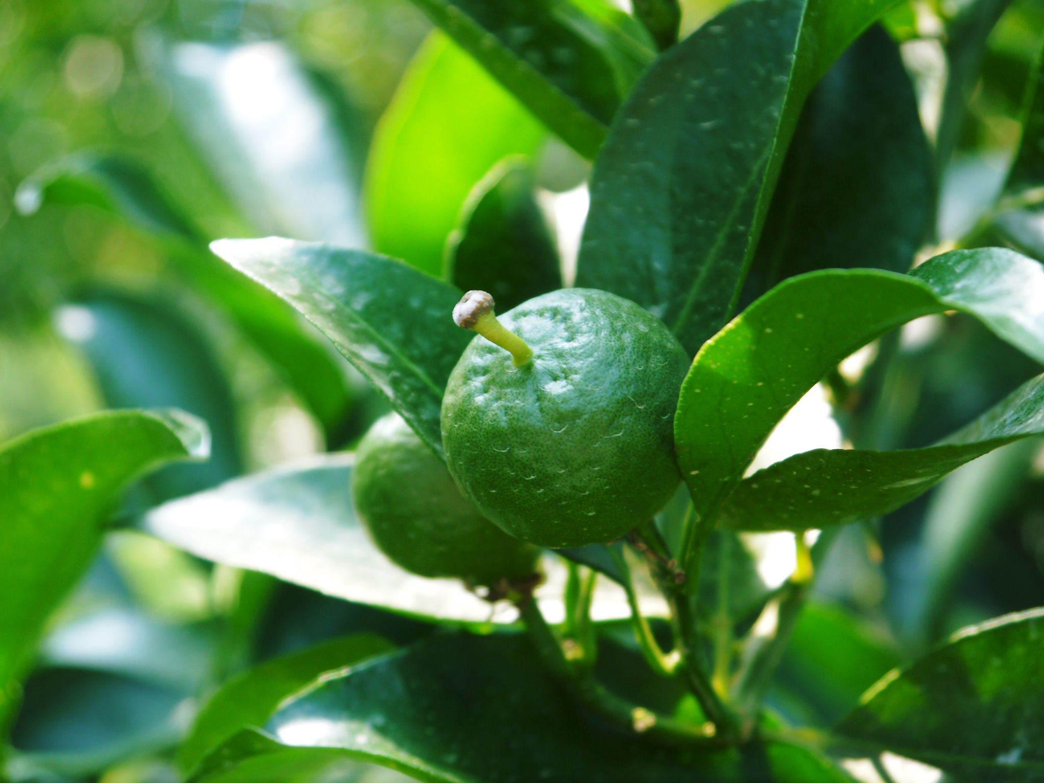 究極の柑橘「せとか」 摘果作業と玉吊り作業 樹勢も良く来年活躍する新芽も元気に芽吹いてます!_a0254656_18050848.jpg