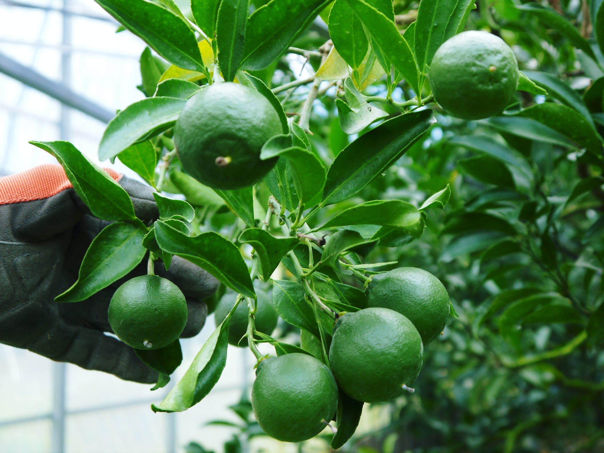 究極の柑橘「せとか」 摘果作業と玉吊り作業 樹勢も良く来年活躍する新芽も元気に芽吹いてます!_a0254656_18091497.jpg