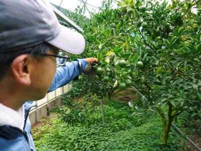 究極の柑橘「せとか」 摘果作業と玉吊り作業 樹勢も良く来年活躍する新芽も元気に芽吹いてます!_a0254656_18095741.jpg