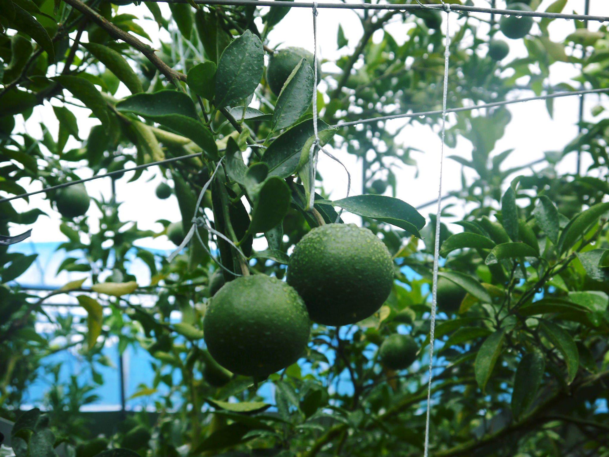 究極の柑橘「せとか」 摘果作業と玉吊り作業 樹勢も良く来年活躍する新芽も元気に芽吹いてます!_a0254656_18205425.jpg