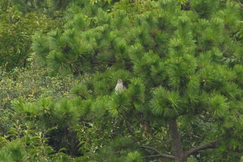 ★オオタカ幼鳥も現る・・・先週末の鳥類園(2020.9.12~13)_e0046474_23274972.jpg