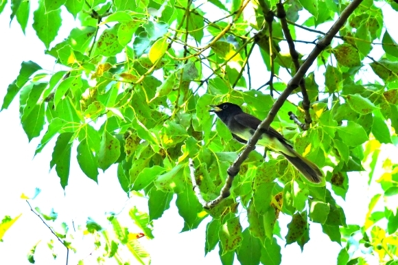 暑い公園で鳥さん撮影  大阪城公園_c0164881_15383370.jpg
