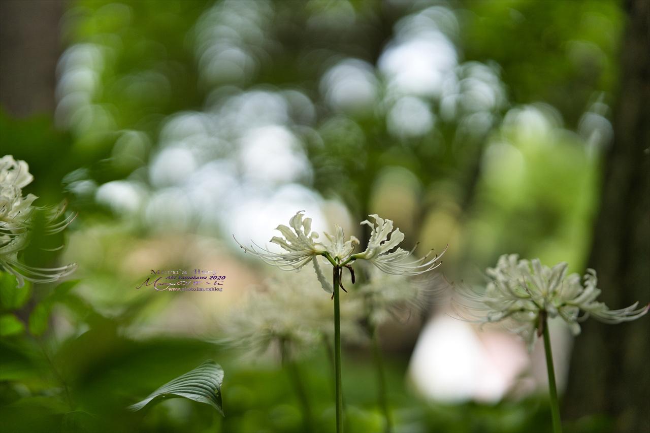 まゝに/9月の散策 武蔵丘陵森林公園 コリウス他_d0342426_00144065.jpg
