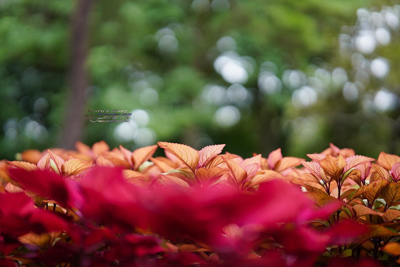 まゝに/9月の散策 武蔵丘陵森林公園 コリウス他_d0342426_00161041.jpg