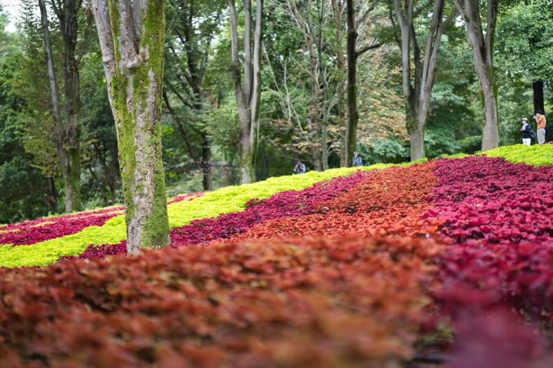 まゝに/9月の散策 武蔵丘陵森林公園 コリウス他_d0342426_00163946.jpg