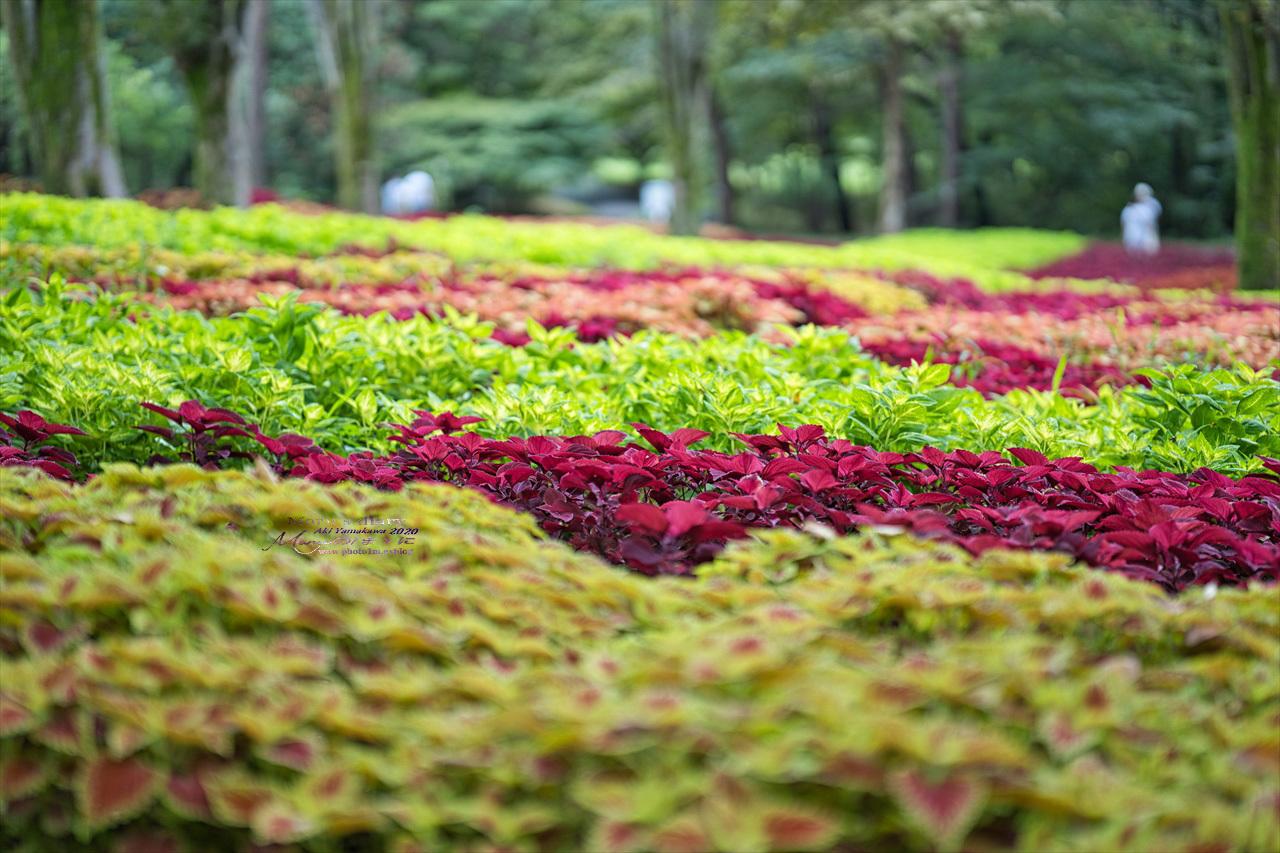 まゝに/9月の散策 武蔵丘陵森林公園 コリウス他_d0342426_00163977.jpg