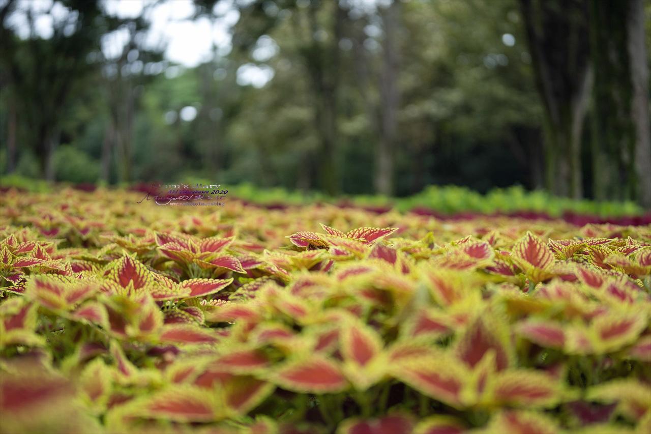 まゝに/9月の散策 武蔵丘陵森林公園 コリウス他_d0342426_00180769.jpg