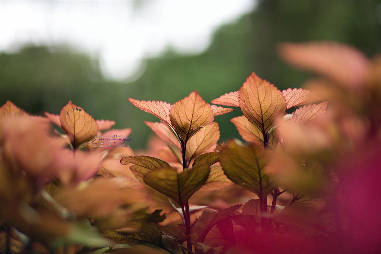 まゝに/9月の散策 武蔵丘陵森林公園 コリウス他_d0342426_00234194.jpg