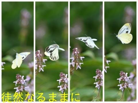 9/12にスミナガシ・アオバセセリ・ヤマキマダラヒカゲ_d0285540_06493078.jpg