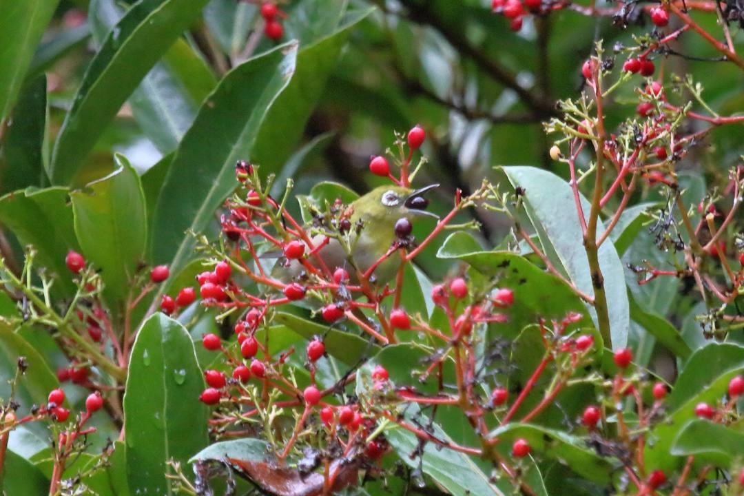 珊瑚樹にメジロ_e0403850_20103887.jpg