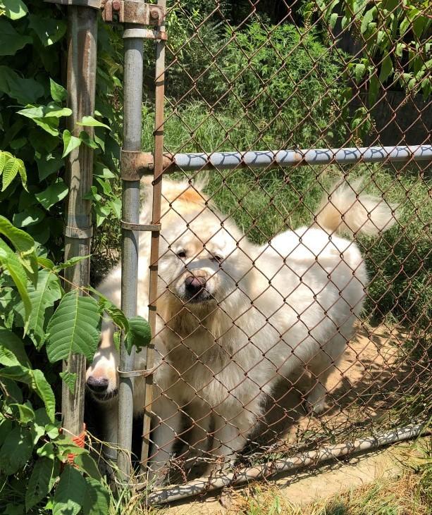 巨大化ピレネー犬【真夏の変化】_e0034987_17260322.jpg